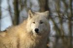 Wolf  im Brückenkopf-Park