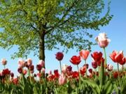 Frühlingsmarkt - Tulpenblüten