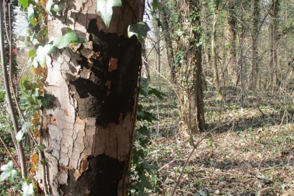 Bild: Ein Baum mit den sichtbaren Schäden der Rußrindenkrankheit.